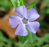 Vinca minor 'Bowles' (Periwinkle)